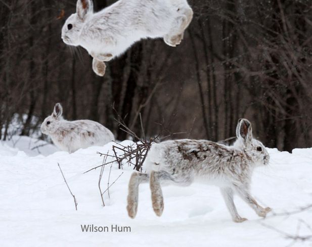 Leaping hares Ottawa, Ontario Canada