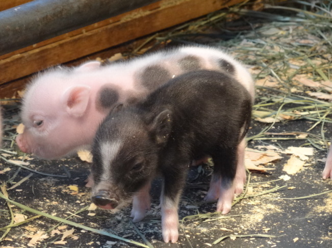 NEW ARRIVALS AT THE BEACON HILL PETTING ZOO Victoria, British Columbia Canada