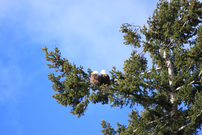 Eagle in tree
