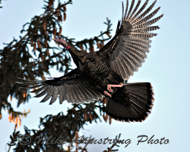 Wild Turkey In Flight Baden, Ontario Canada