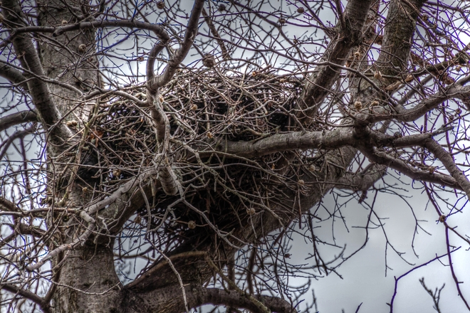 Red Tail Hawk's Nest...Spring? Niagara Falls, Ontario Canada