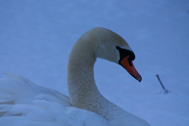 Close up on a Swan Aylmer, Ontario Canada