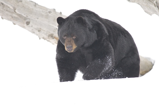 Black Bear Montebello, Quebec Canada
