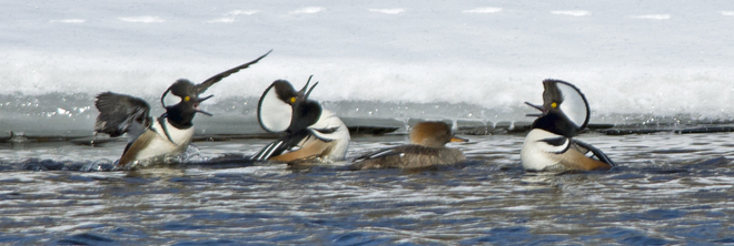 Hooded Mergansers Marmora and Lake, Ontario Canada