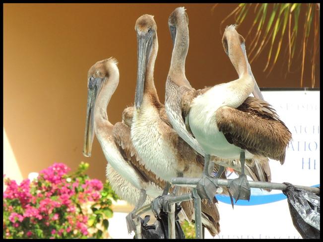 4 pelican qui attend la bouffe.....