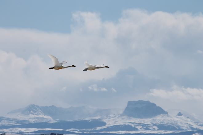 Swans over Chief Mountain Pincher Creek, Alberta Canada