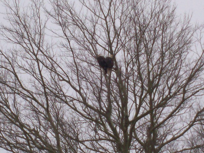 Mr.&Mrs. Bald Eagle above our church his morning ! Sydney, Nova Scotia Canada
