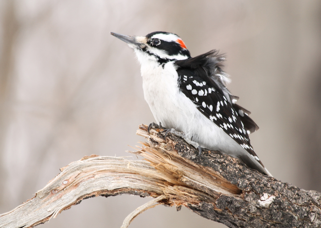 Hairy Woodpecker - Windy! Kingston, Ontario Canada
