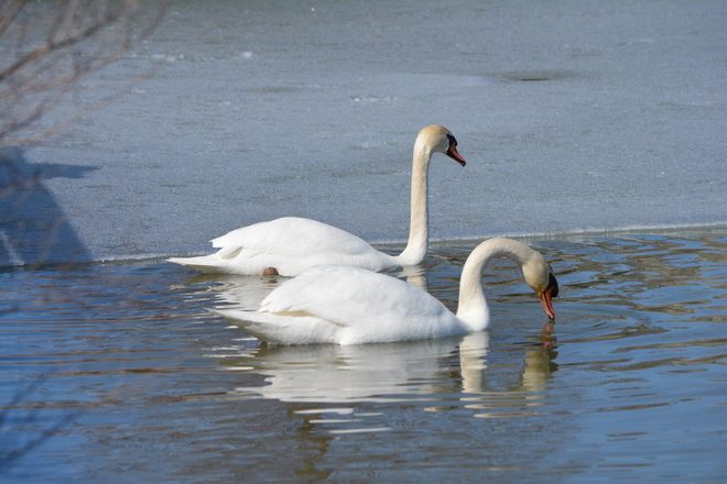 Two Mute Swans! St. Catharines, Ontario Canada