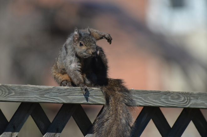 Itchy Squirrel ! Oakville, Ontario Canada