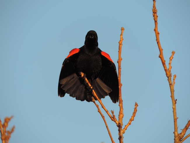 Angry Red Wing Blackbird Toronto, Ontario Canada