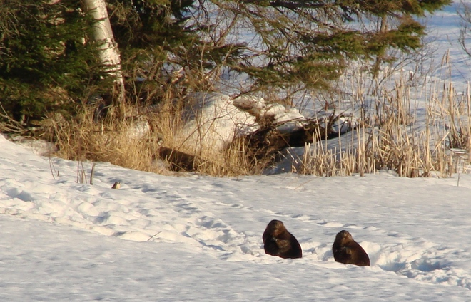 Beavers in the Sun Otter Lake, Quebec Canada