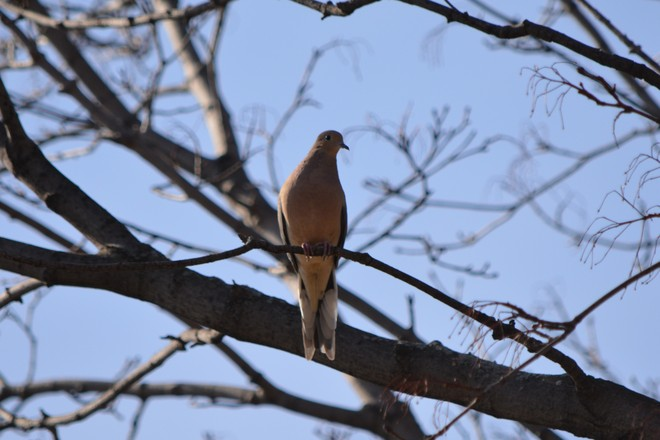 Mourning Dove! St. Catharines, Ontario Canada