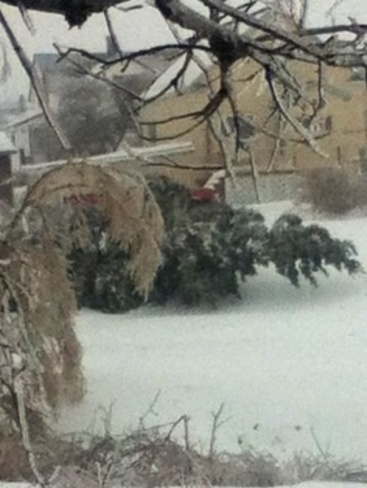 crazy big tree fallen! New Waterford, Nova Scotia Canada