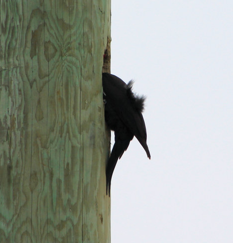 "Pileated Woodpecker ""Not quite deed enough!"" Yarker, Ontario Canada"