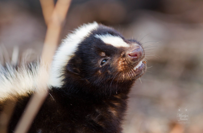 Skunk smile.. Kingston, Ontario Canada
