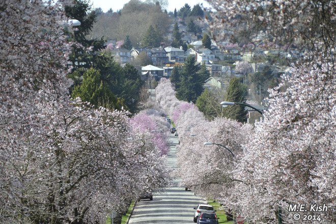 Blossom-Lined Street Vancouver, British Columbia Canada