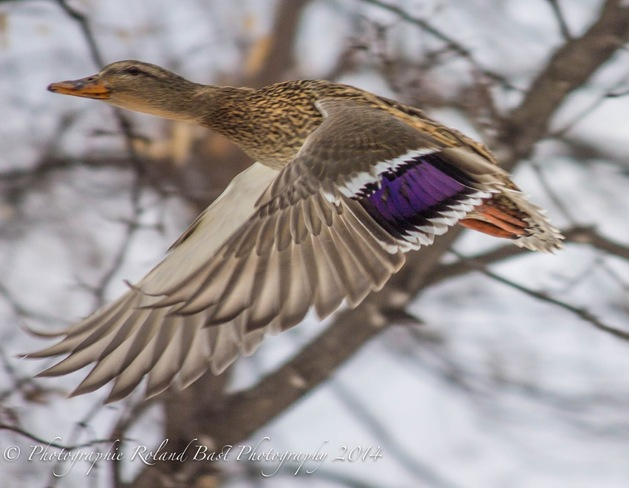 In Flight for spring. Ottawa, Ontario Canada