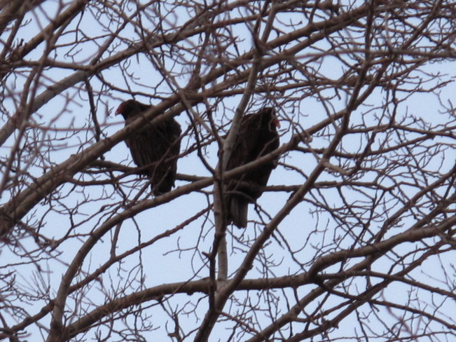 Two large vultures in a tree...... Cobourg, Ontario Canada