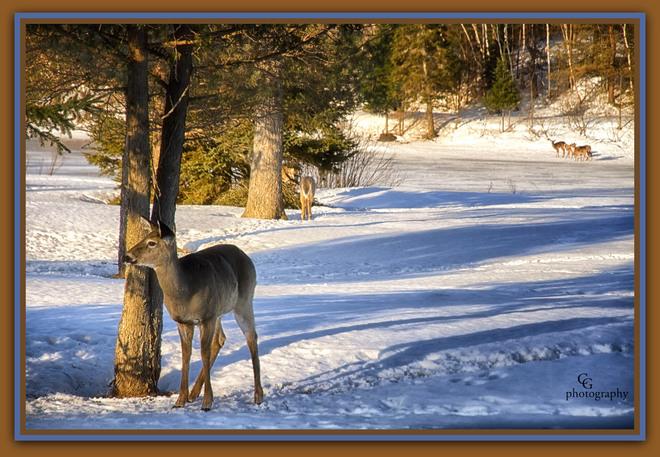 Deer, lots of deer around. Magnetawan, Ontario Canada