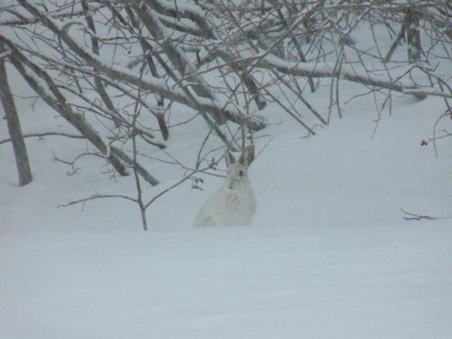 Hare in the snow Englehart, Ontario Canada