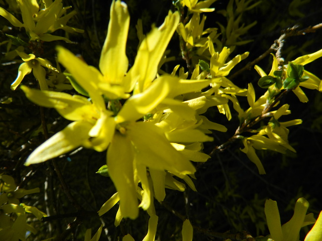 forsythia Surrey, British Columbia Canada