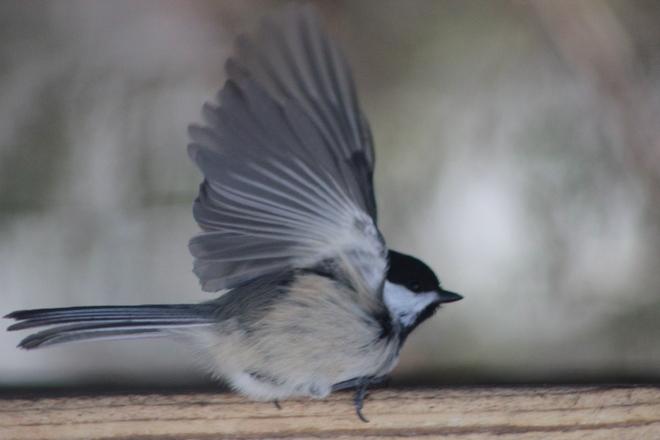 Flyaway Birdie Elliot Lake, Ontario Canada