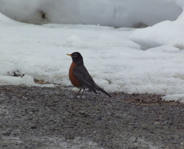 first robin Woodstock, New Brunswick Canada