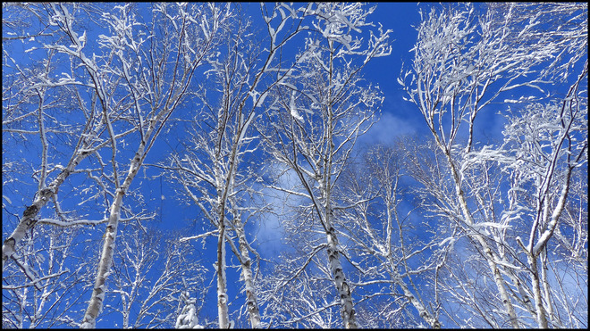 Sheriff Creek birches with a blue sky. Elliot Lake, Ontario Canada