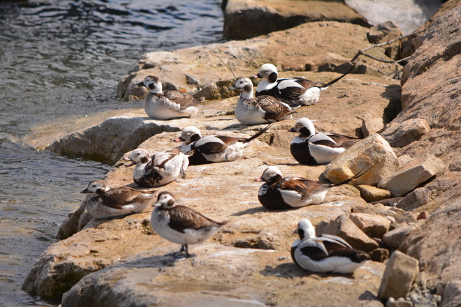 Long Tailed Ducks on Rocks! St. Catharines, Ontario Canada