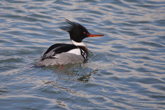 Male Red Breasted Merganser! St. Catharines, Ontario Canada