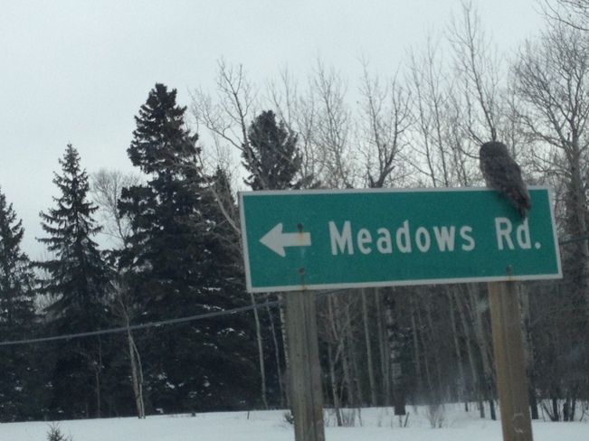 Grey Owl Perched on Meadow Roads sign Dryden, Ontario Canada