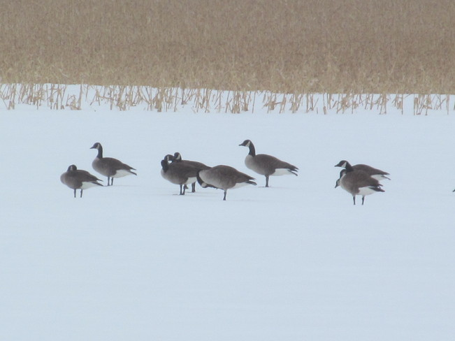 Geese Tracey Mills, New Brunswick Canada