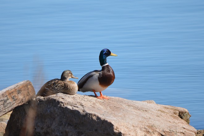 Mallards Couple! St. Catharines, Ontario Canada