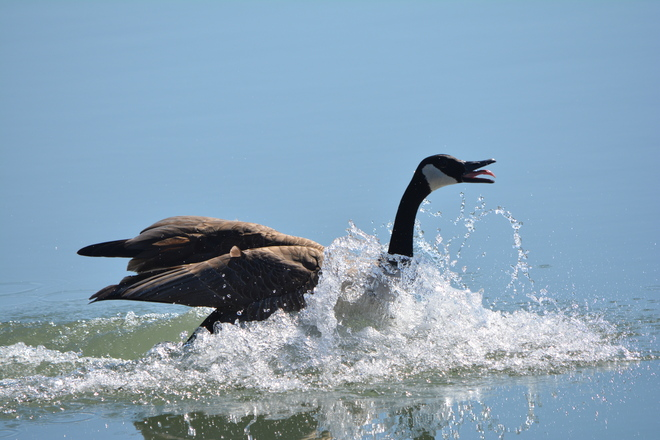 Canada Goose on Lake Ontario! St. Catharines, Ontario Canada
