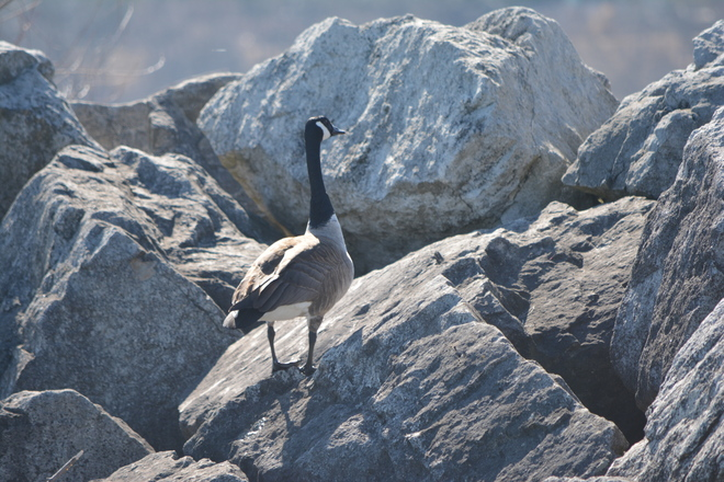 Canada Goose on Rocks! St. Catharines, Ontario Canada