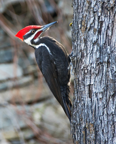 Pileated woodpecker Nelson, British Columbia Canada