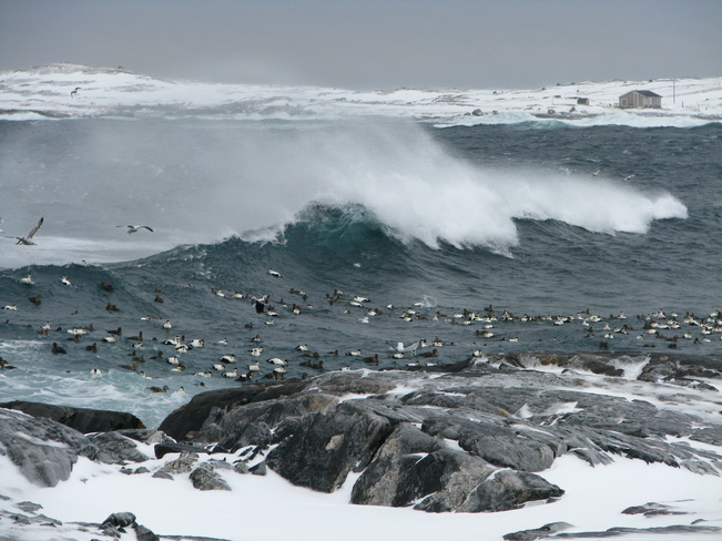 EIDER ducks in a storm Channel-Port aux Basques, Newfoundland and Labrador Canada