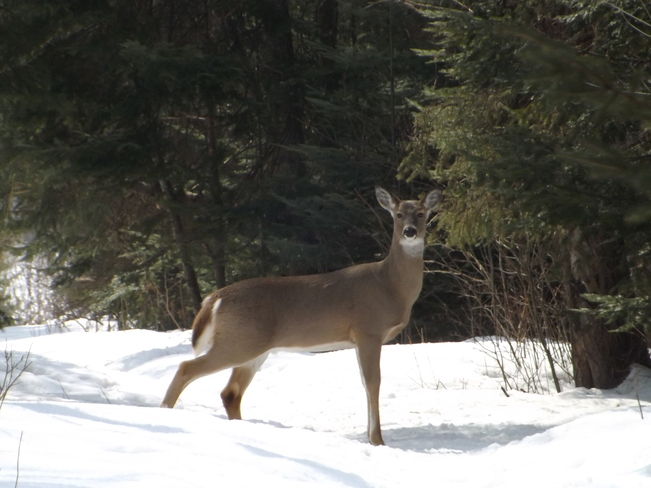 DEER IN THE FOREST Thunder Bay, Ontario Canada