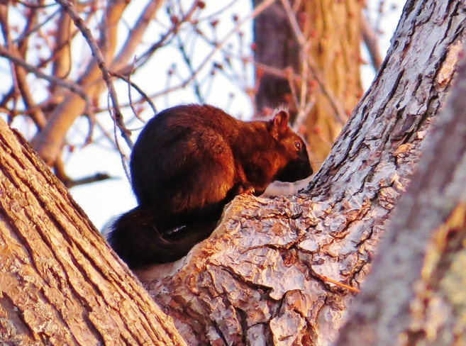 Squirrel entranced by this evening's sunset. North Bay, Ontario Canada
