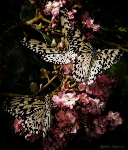 a cluster of butterflies ..... Pierrefonds, Quebec Canada