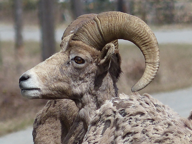 Big horn sheep Grand Forks, British Columbia Canada