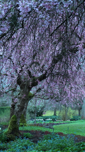Quiet and Cozy to Showcase the Cherry Blossoming Vancouver, British Columbia Canada