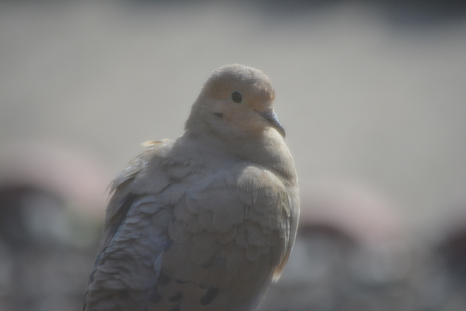 Dove plumage! St. Catharines, Ontario Canada