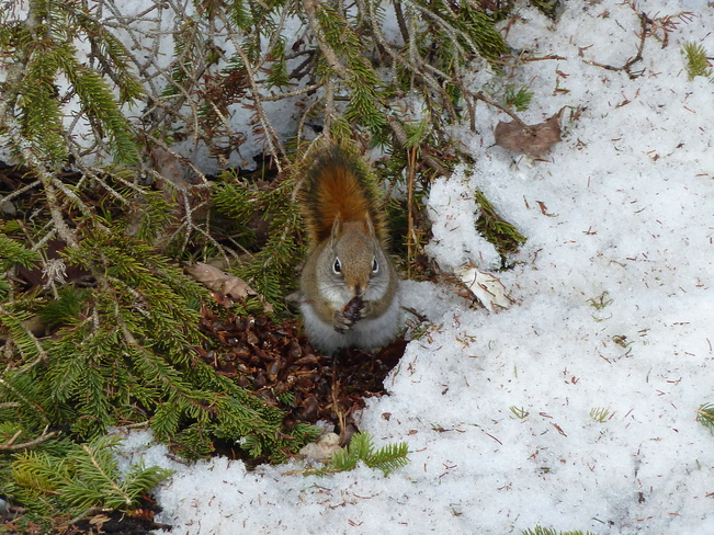 Red Squirrel by Cyprus Lake Tobermory, Ontario Canada