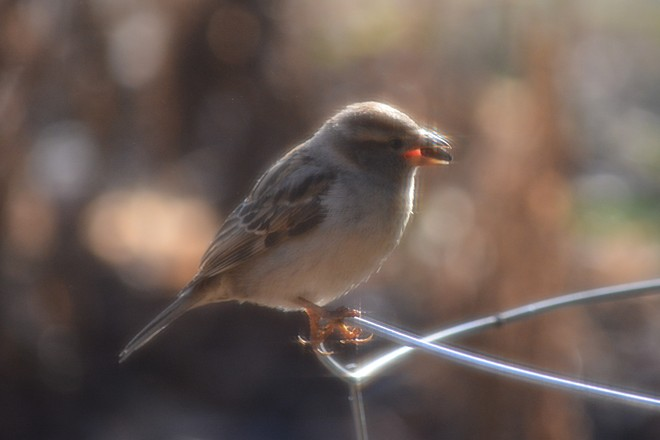 Sparrow! St. Catharines, Ontario Canada