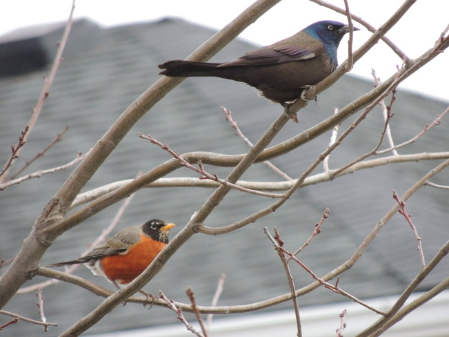 The Robin and the Grackle Newmarket, Ontario Canada