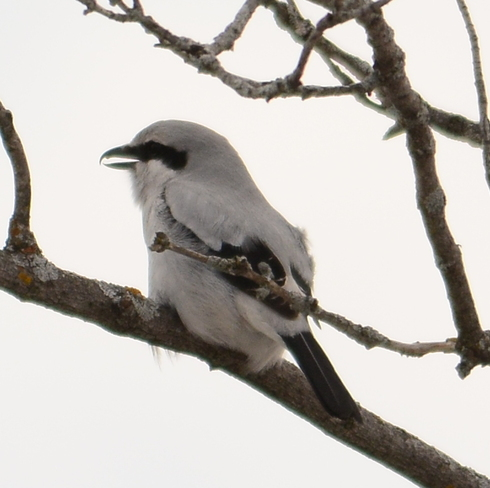 Northern shrike Laval, Quebec Canada