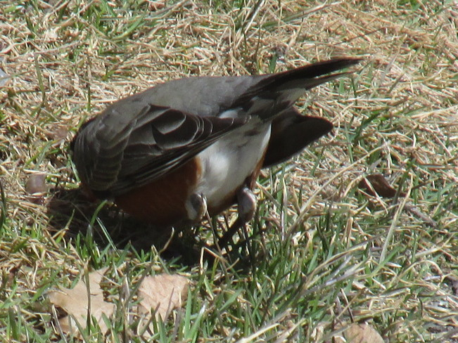 Robin pulling up worm Moncton, New Brunswick Canada