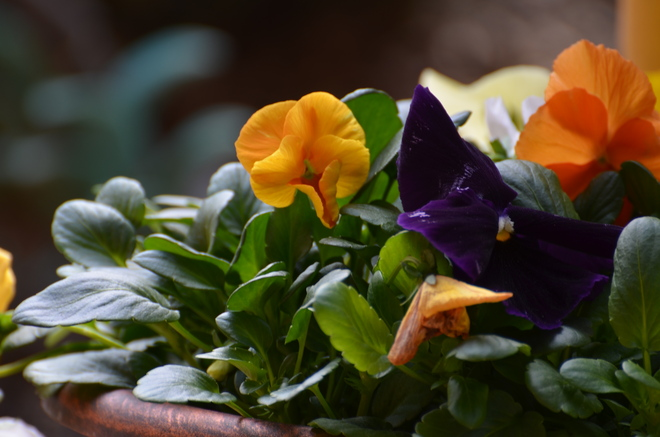 colorful Pansies Whitby, Ontario Canada